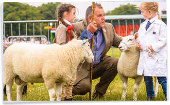 Suffolk Show Sheep